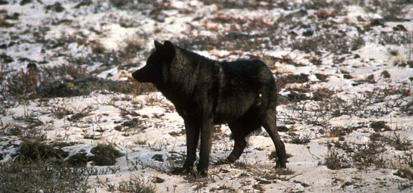 Black wolf (Photo by U.S. Fish and Wildlife Services)