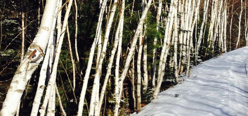 Birch trees in winter sun (Photo by Allison Lewis/NCC staff)