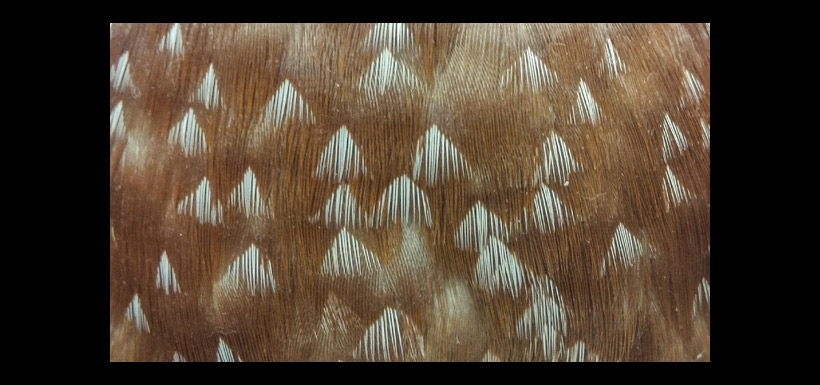 Male wood duck breast feathers (Photo by Claire Elliott)