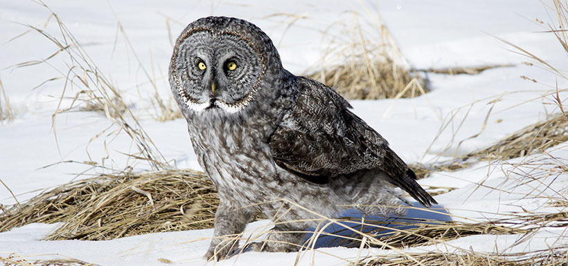 Great gray owl (Photo by Daniel Arndt, CC BY SA 2.0)