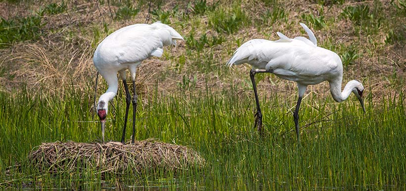 Whooping crane (Photo by Rondiel, Wikimedia Commons)