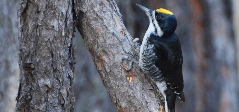 Black-backed woodpecker (Photo by Mike Laycock, National Park Service)