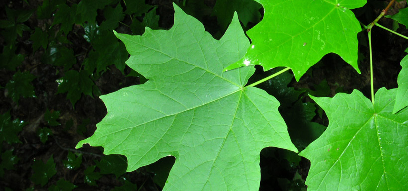 Sugar maple (Photo by Superior National Forest/Wikimedia Commons)