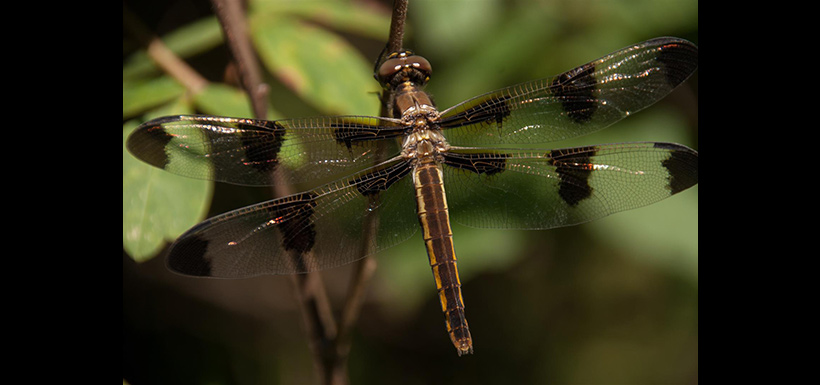 Twelve-spotted skimmer, a common species in Southern Ontario (Photo by Leanne Guthier-Helmer)
