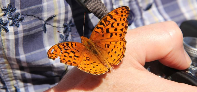Aphrodite fritillary, Carden Alvar butterfly count, ON (Photo by NCC)
