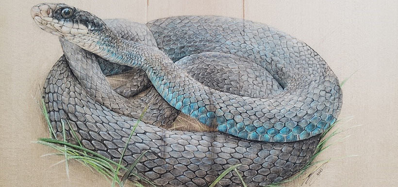 The endangered blue racer can now only be found in Canada on Pelee Island. I had the immense luck to witness one of these gorgeous creatures mid-predation of a frog in one of NCC's restored properties.