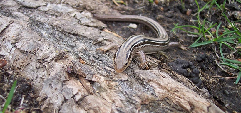 Prairie skink (Photo from Wikimedia Commons)