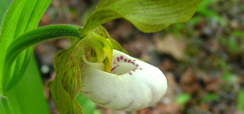 Small white lady's slipper (Photo by Eric Soehren/iNaturalist CC BY-NC)