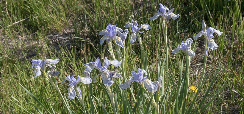 Western blue flag (Photo by Tim Messick/iNaturalist CC BY-NC)