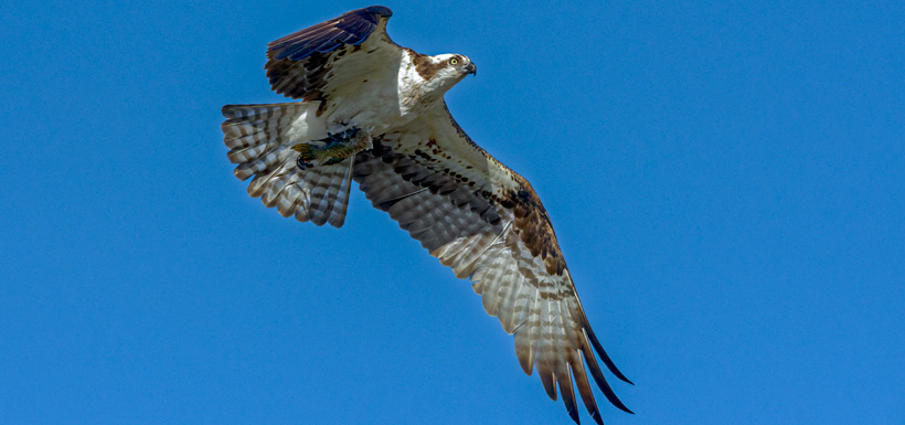 Photo two: male delivers fresh fish to the nest (Photo by Lorne)