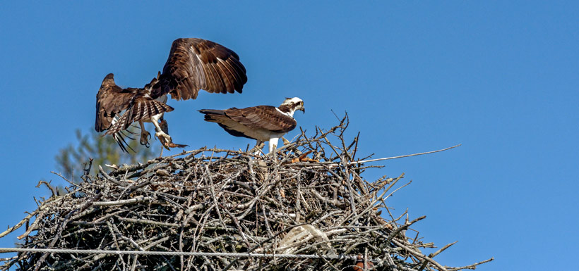 Photo three: enjoying leftovers at the nest (Photo by Lorne)