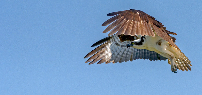 Photo four: male keeps an eye on the nest (Photo by Lorne)