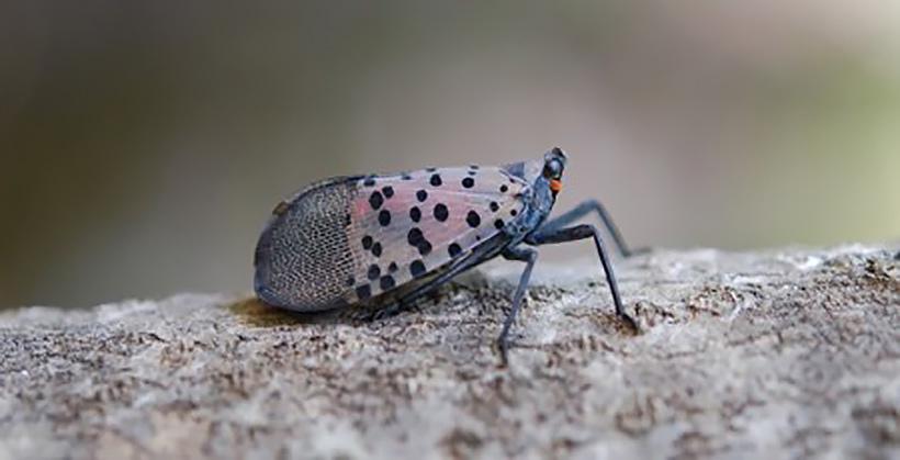 Spotted lanternfly (Photo courtesy of Penn State University)