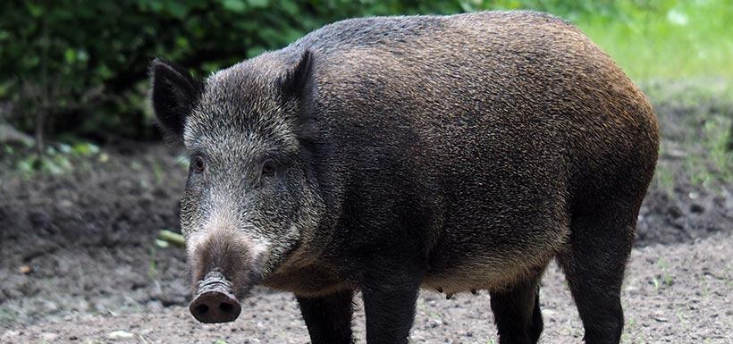 Wild pig (Photo by Unsplash)