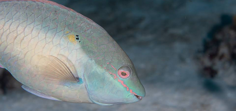 Parrotfish (Photo by Mike Jacobs)