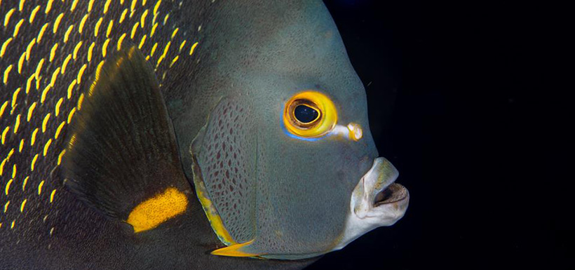 Queen angelfish (Photo by Mike Jacobs)