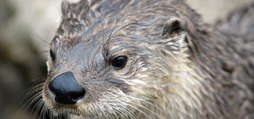 North American river otter (Photo by Chris Paul/Wikimedia Commons)