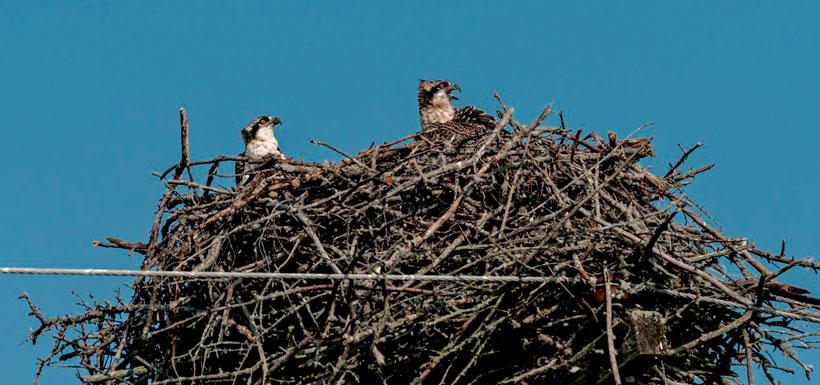 Juvenile osprey in their nest (Photo by Lorne)