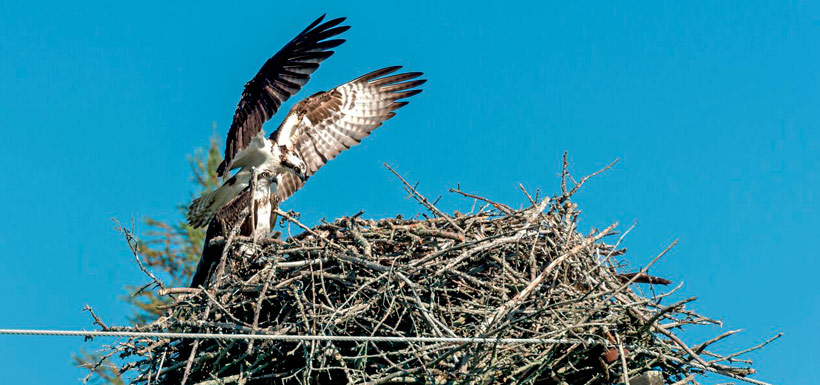 Male and female osprey at the nest (Photo by Lorne)