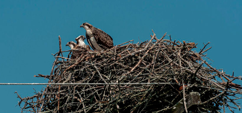 The family of osprey in their nest (Photo by Lorne)