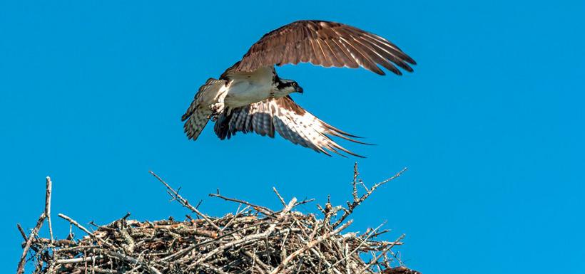 Adult osprey guards the nest (Photo by Lorne)