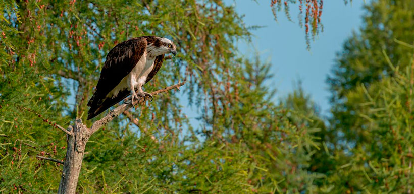 Osprey watches over its young (Photo by Lorne)