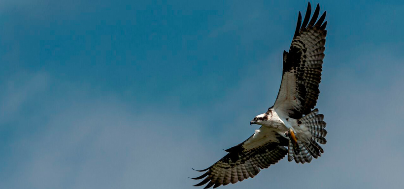 The male osprey brings fish back to the nest (Photo by Lorne)