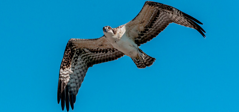 The young osprey takes its first flight (Photo by Lorne)