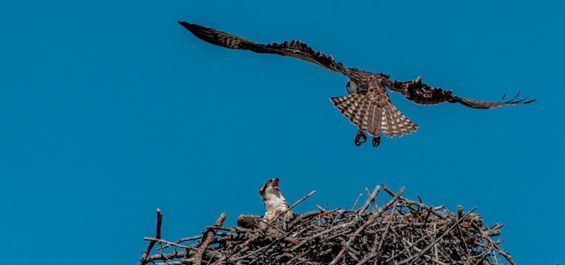 The juvenile osprey attempts its first free flight landing back into the nest (Photo by Lorne)