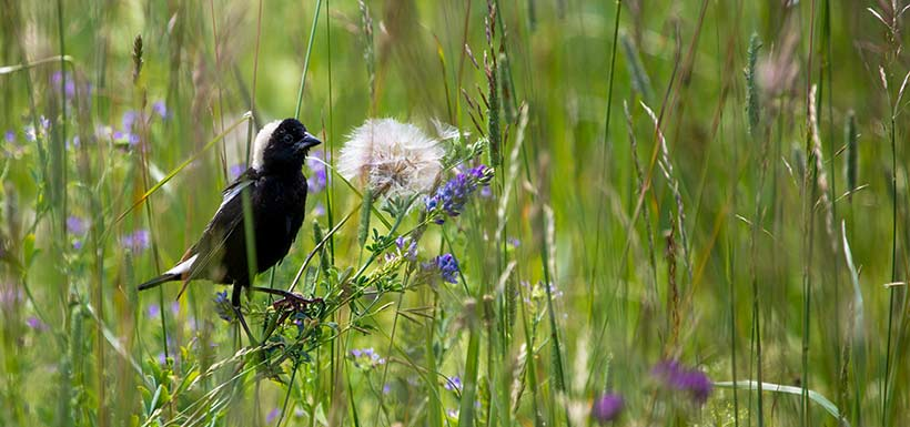 Bobolink at Prairie Smoke Nature Reserve, Carden Alvar, ON (Photo by NCC)