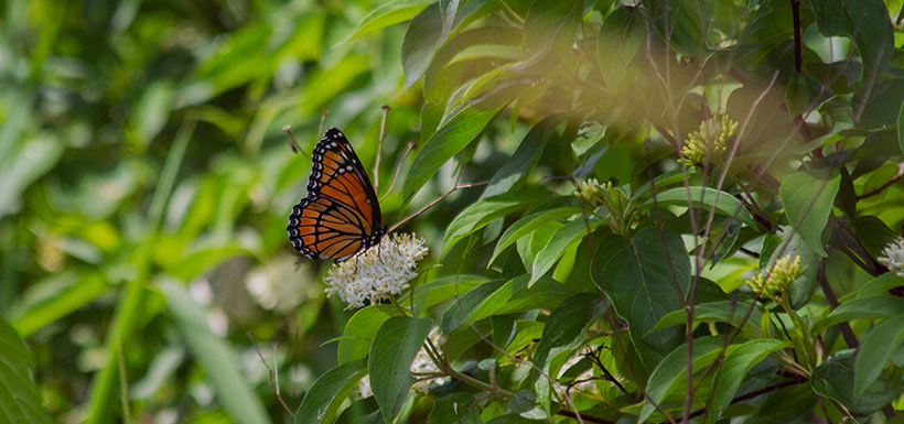 Monarch butterfly at Carden Alvar, ON (Photo by NCC)
