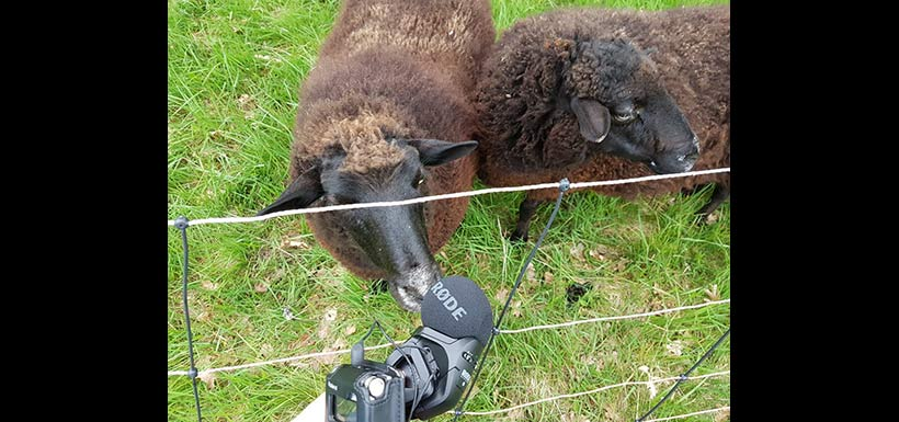 Interviewing sheep at NCC's Cowichan Garry Oak Preserve in BC (Photo by NCC)