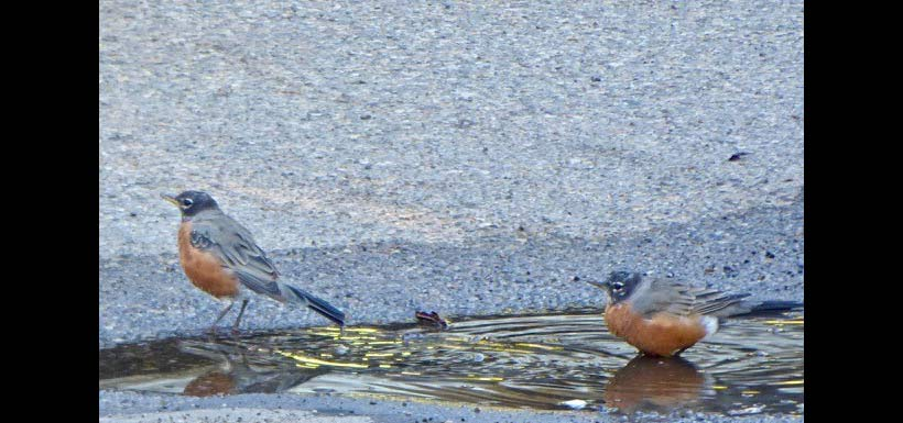 The interloper robin is being pushed out of the puddle. (Photo by Janis Turner)