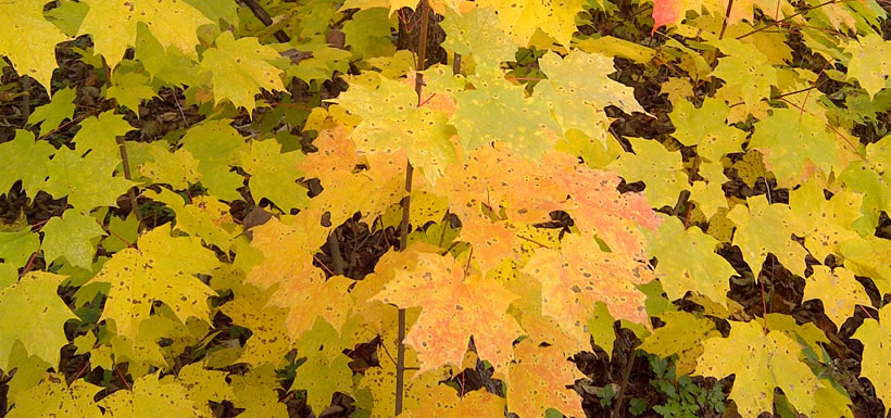 Sugar maples on Pelee Island, ON (Photo by NCC)