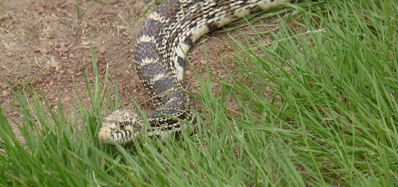 Bullsnake (Photo by arcticparrot, CC BY-NC 4.0)