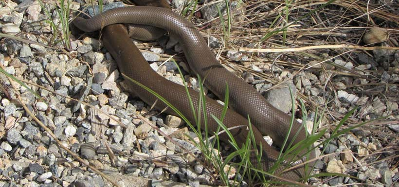 Northern rubber boa (Photo by Douglas J. Graham, CC BY-NC 4.0)