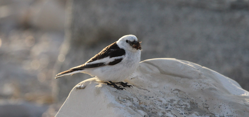 Snow bunting adult (male) carrying a bill load of insects to feed his nestling. (Photo by Jenna Cragg)