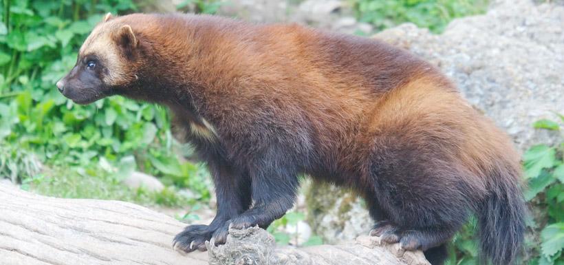 Wolverine (Photo by Matthias Kabel via Wikimedia Commons)