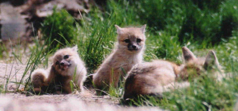 A swift fox family. (Photo by Catriona Matheson, Cochrane Ecological Institute)
