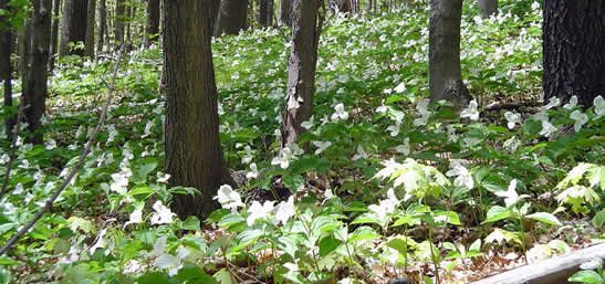 White trilliums, Happy Valley Forest, Ontario (Photo by NCC)