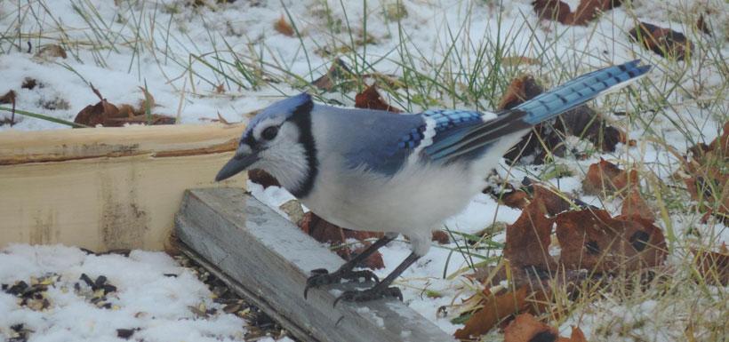 Blue jay (Photo by Gyslaine LeBreton)