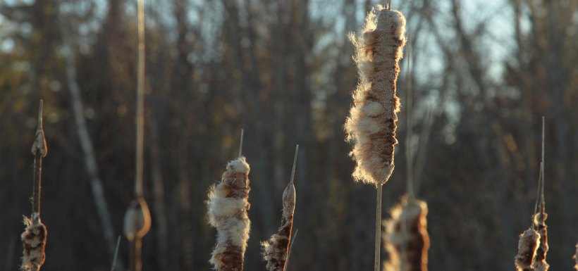 Bulrush, Cookville, NB (Photo by Mike Dembeck