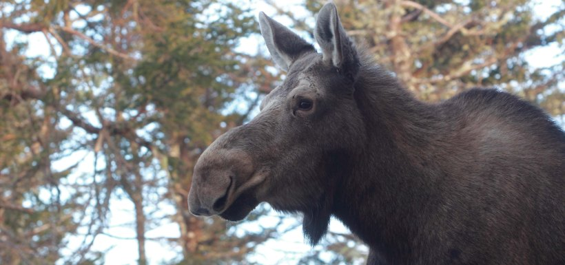 Moose, Cookville, NB (photo by Mike Dembeck)