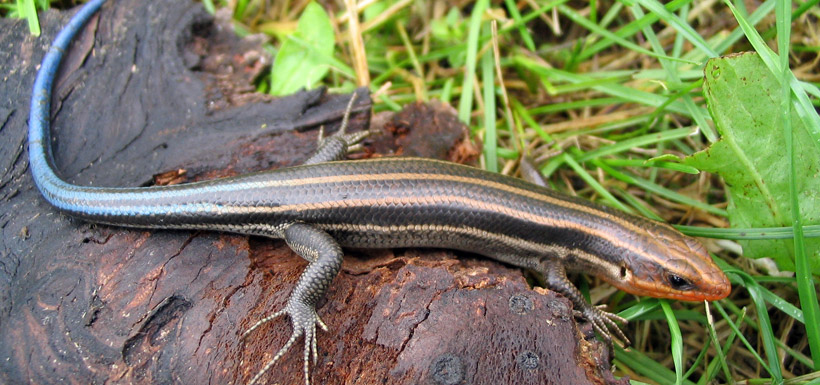 Five-lined skink (Photo by Ryan M. Bolton)