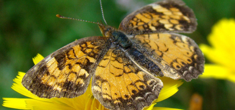 Pearl crescent butterfly perches on mouse ear hawkweed in the Lower Maitland River Valley (Photo by NCC)