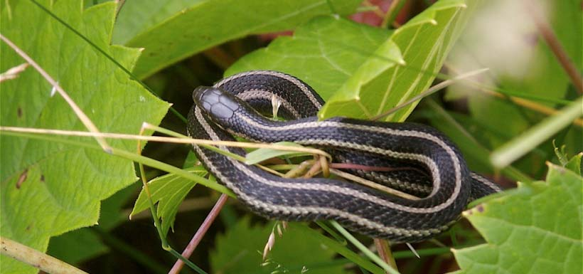 In Canada, Butler's gartersnake is found only in Ontario; it is easily confused with the common gartersnake and northern ribbonsnake (Photo by Dan Mullen)