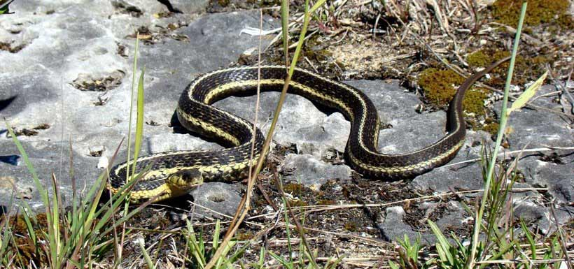The common gartersnake is the most widely distributed reptile in Canada (Photo by NCC)