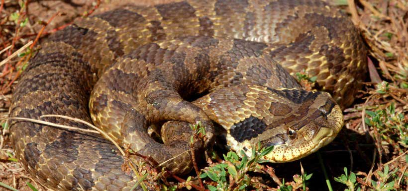 The harmless eastern hog-nosed snake will mimic cobras and rattlesnakes to ward off threats (Photo by Ben Lowe)