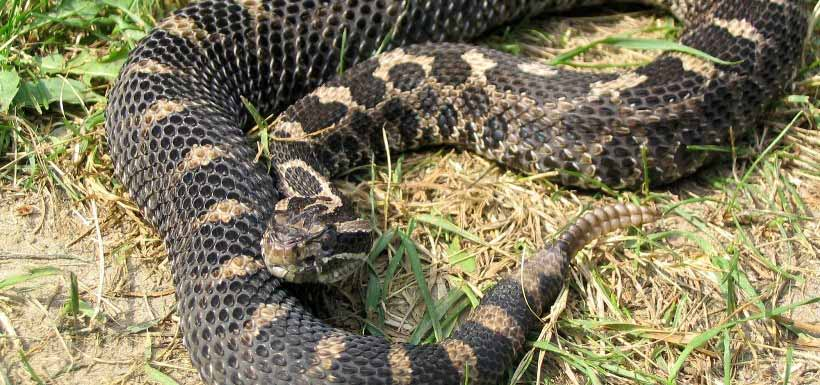 Distinguishable by its rattle, the eastern massasauga is Ontario's only venemous snake but is generally not aggressive (Photo by Ryan M. Bolton)