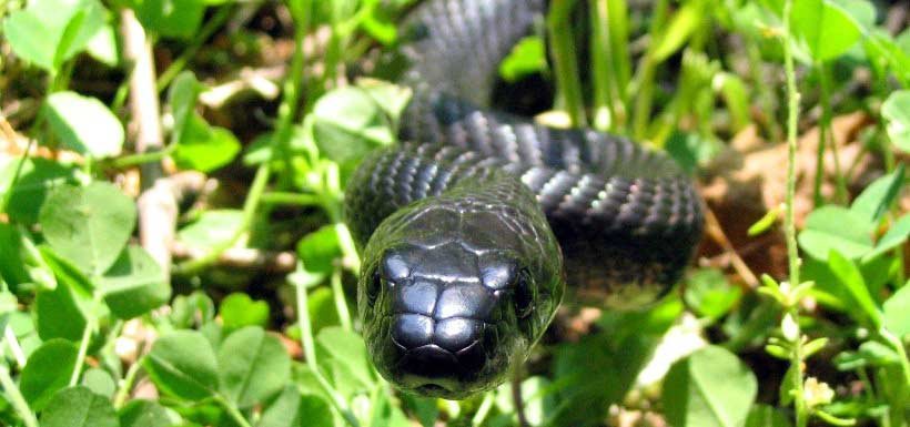 The gray ratsnake is Canada's largest snake and spends a lot of time high up in trees (Photo by Ryan M. Bolton)